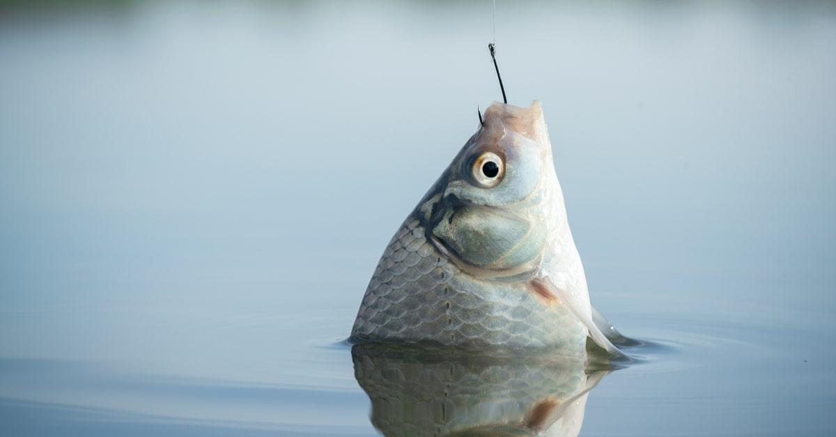 Alles zum Angeln auf Friedfische